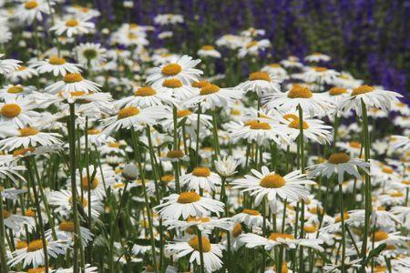 oxeye: Oxeye daisy Stock Photo