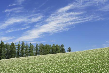 potato field: Potato field