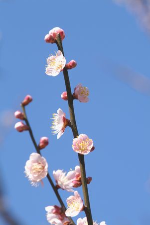 tree position: Japanese apricot