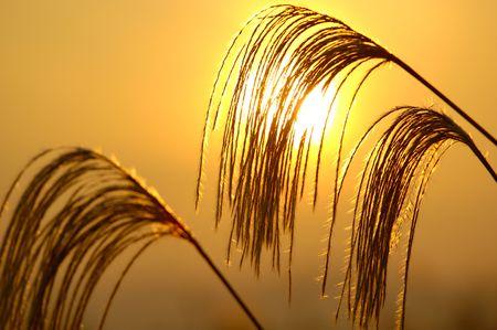 pampas: Japanese pampas grass and sunset