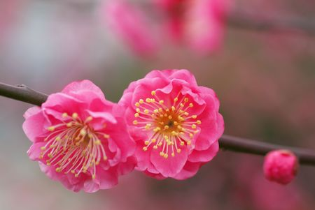 japanese apricot flower: Flower of Japanese apricot Stock Photo