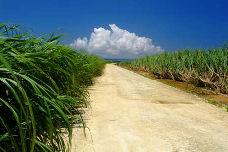 vividly: Road in cane field Stock Photo