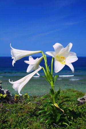 easter lily: Easter lily,Higashihennazaki