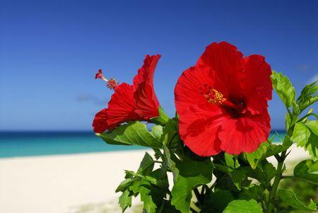 hibiscus: Hibisco