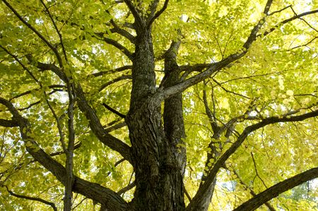 quietness: Big tree of autumn tint Stock Photo