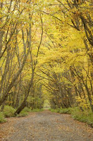 settling: White birch woods