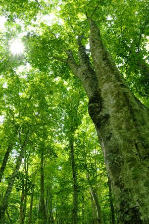 tree position: Fagus crenata Blume Stock Photo