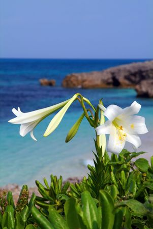 easter lily: Easter lily Stock Photo
