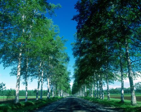 magnificence: Roadside trees road of white birch
