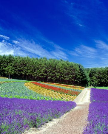 magnificence: Straight road at the flower field