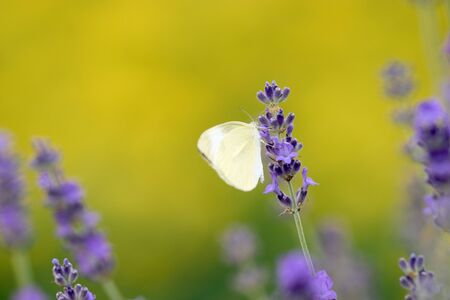 loveliness: Lavender and butterfly