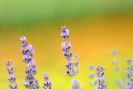 loveliness: Lavender Stock Photo