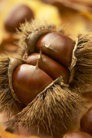 its: Chestnut in its bur