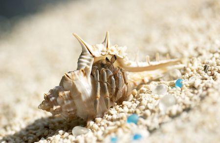 hermit: Terrestrial Hermit Crab