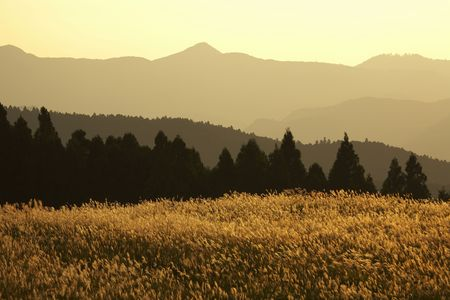 tableland: Japanese pampas grass
