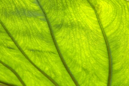 extends: Veins of a leaf Stock Photo