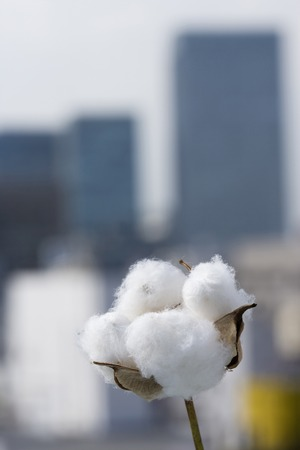 living things: Cotton