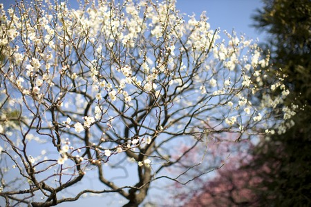plum blossom: Plum blossom