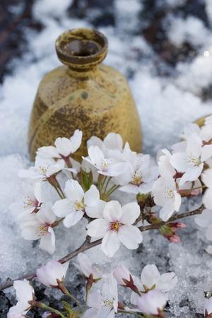 winter thaw: Sakura