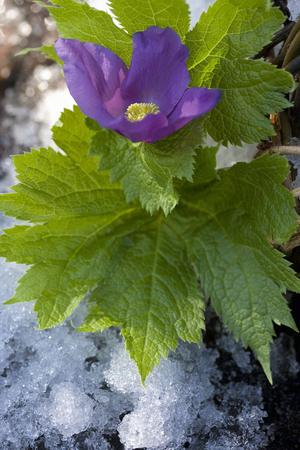 winter thaw: Glaucidium