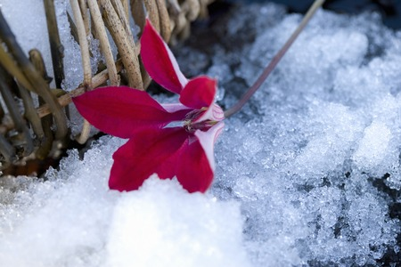 early spring snow: flower