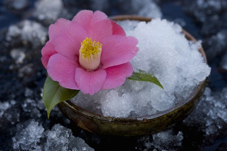 winter thaw: Camellia