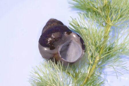 waterweed: Mud snail