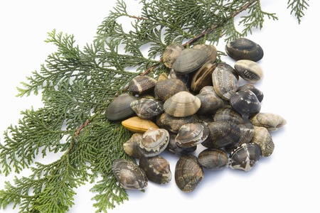living things: Clams Stock Photo