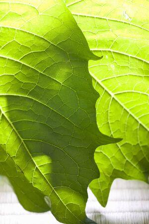nightshade: Leaf nightshade