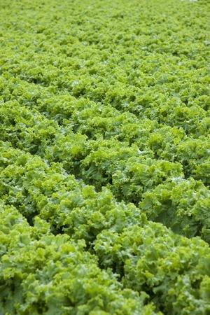 sureness: Lettuce field Stock Photo