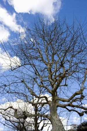 プラタナス: Wood of sycamore