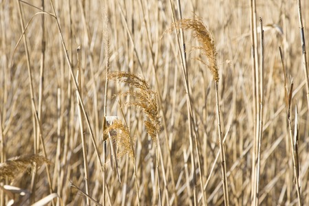 reed: Reed Stock Photo