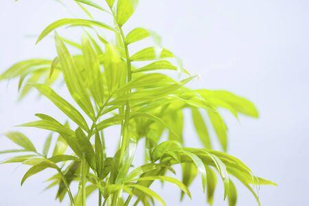 parlor: Parlor palm