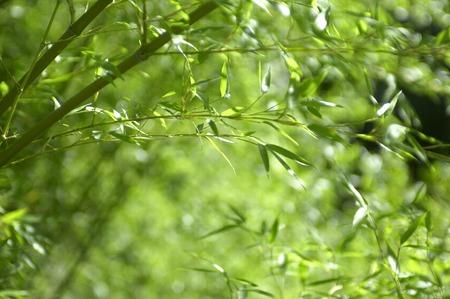 feuille de bambou: Bamboo leaf Banque d'images