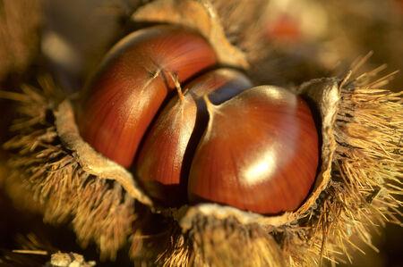 it's: Chestnut in its bur
