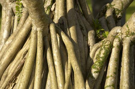 banyan: Chinese Banyan Stock Photo