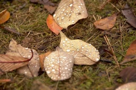 dead leaves: Las hojas muertas