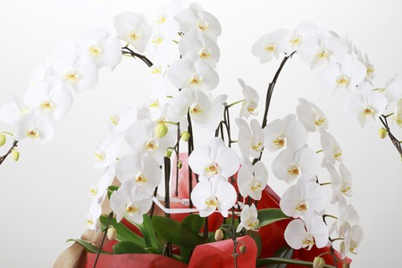 gorgeousness: The Phalaenopsis plant and gray background.