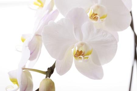 gorgeousness: Close up shot of Phalaenopsis flower. Stock Photo