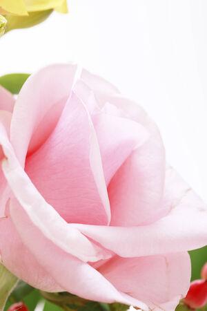 バラのショットを閉じる。