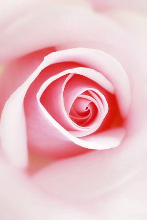 ピンクの薔薇のショットを閉じる。 写真素材