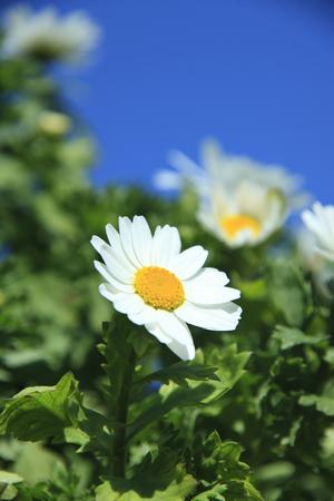 shasta daisy: Margaret