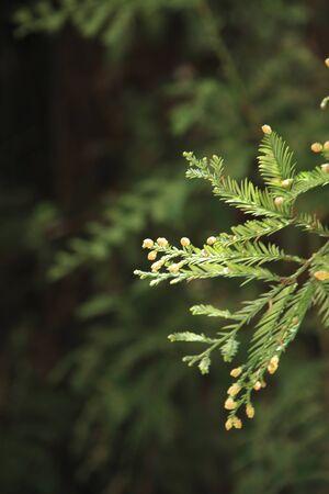 esporas: Spores of the Cedar