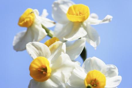 sen: White Daffodil