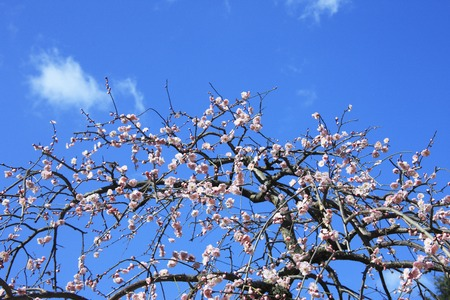 plum grove: Blue sky and Red Plum