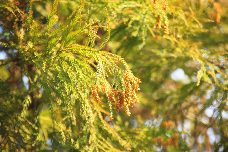 fever plant: Cedar pollen