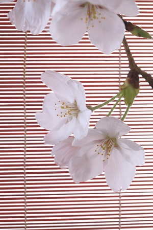 harmonize: Cherry blossoms and bamboo