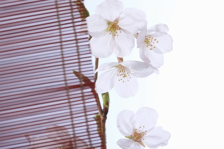 Cherry blossoms and bamboo