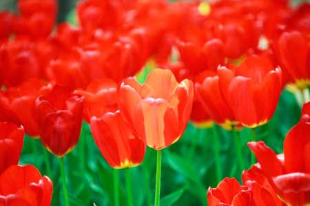 red tulip: Tulip, red