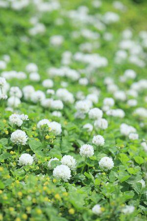 trifolium repens: FLower Stock Photo